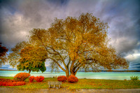 Traverse City Willow - Fall