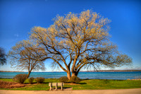 Traverse City Willow - Spring